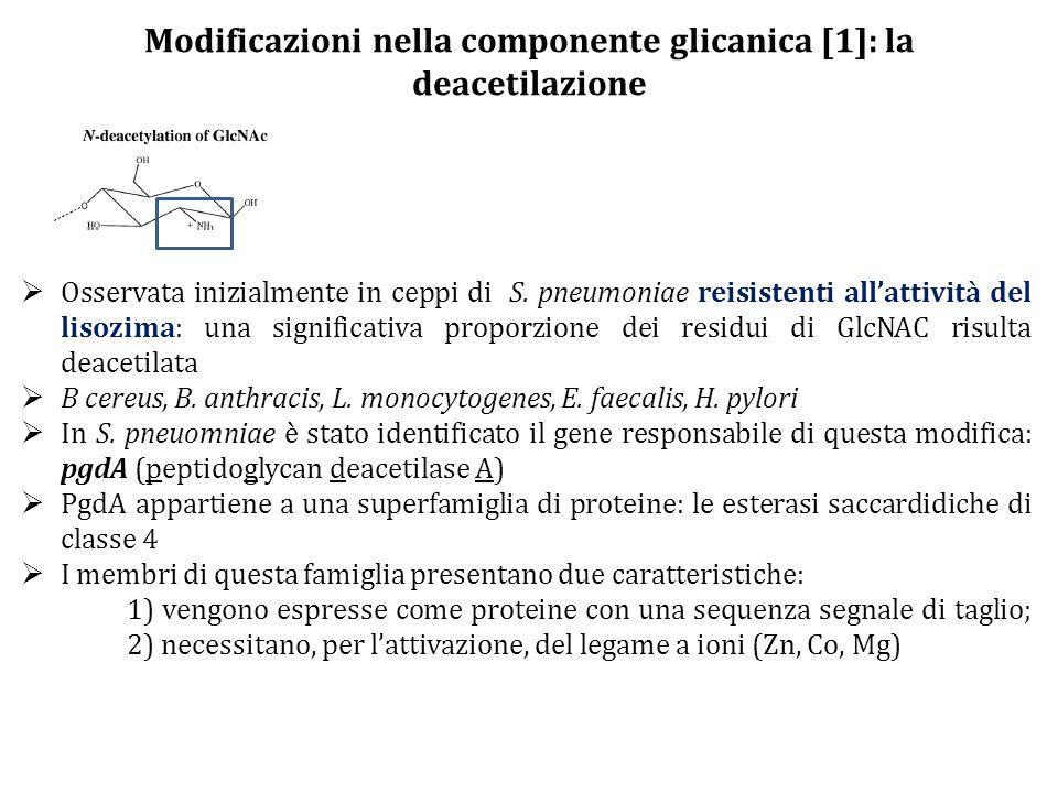 Modificazioni nella componente glicanica [1]: la deacetilazione